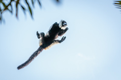 Black-and-white Ruffed Lemur