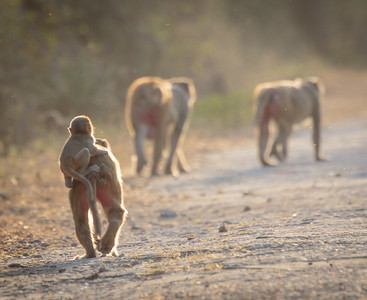 Rhesus Macaque Departing