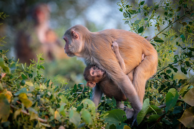 Rhesus Macaque Clinging to Mother