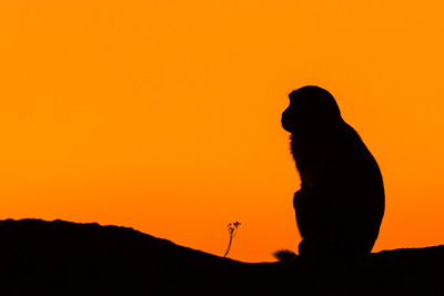 Silhouette, Rhesus Macaque