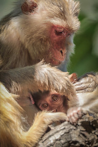 Mother and Child, Rhesus Macaque