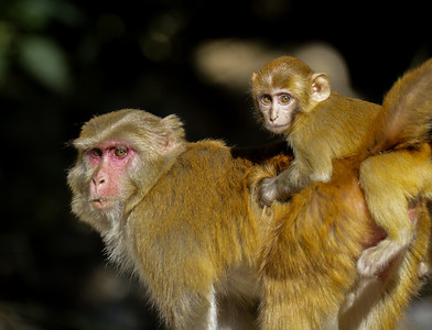 Rhesus Macaque with Juvenile