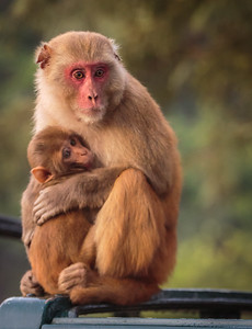 Rhesus Macaque Mother and Child
