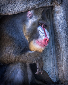 Mandrill in a Small Place