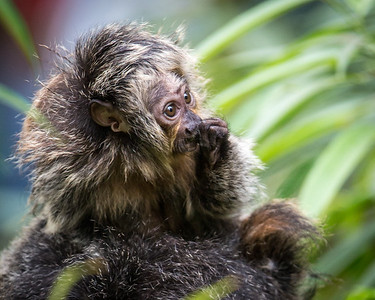 White-faced Saki Baby