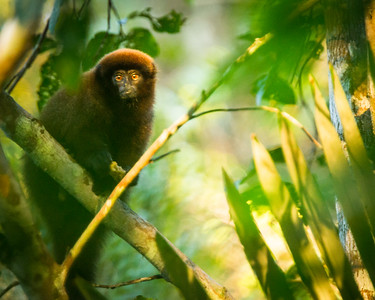 Brown Titi Monkey