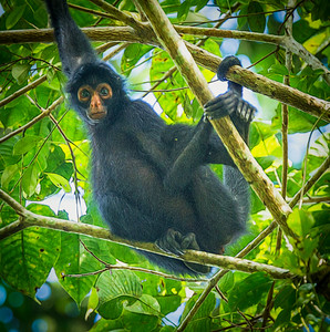 Peruvian Spider Monkey