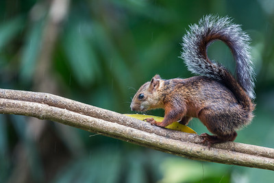 Variegated Squirrel