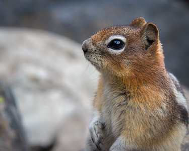 Golden-Mantled Squirrel II, Lake Louise, Banff NP, Alberta, Canada, 2006