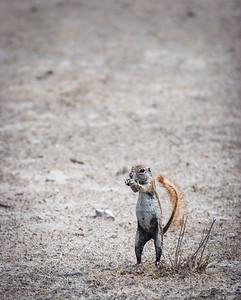 Striped Gound Squirrel