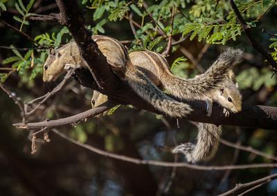 5 Stripe Squirrel