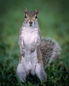"""Still Standing"" Eastern Gray Squirrel"