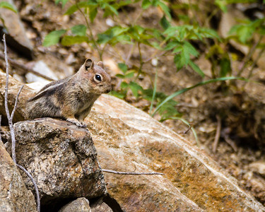 Golden-mantled Squirrel