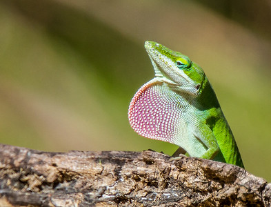 Anole Displaying