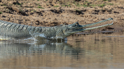 Gharial with Radio Transmitter