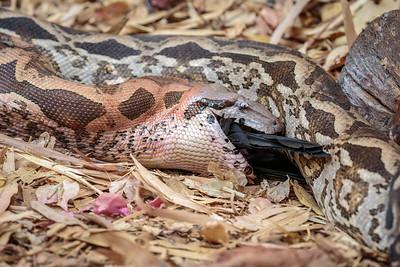 Ground Boa swallowing a bird