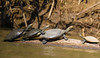 Side-necked Turtle