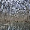 Tupelo Gum trees