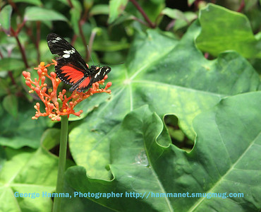 This doris longwing butterfly found a favorite flower.
