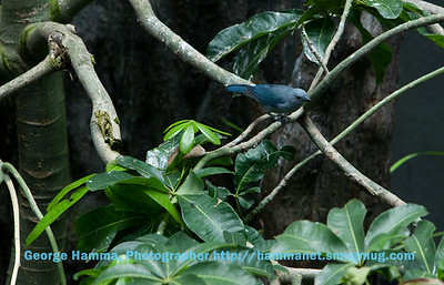 The blue-gray tanager was a pretty bird.