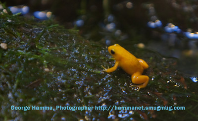 A cute little orange frog.
