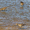 Pectoral Sandpipers,