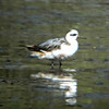 Red Phalarope,