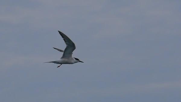 Cape Cod Bird Festival - Pelagic - September 21, 2014
