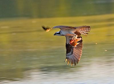 CeleryFarm- Osprey