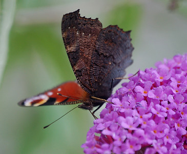 Peacock butterfly, showing the very dark and plain underside