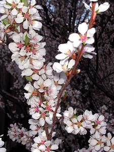 cherry blossom 17