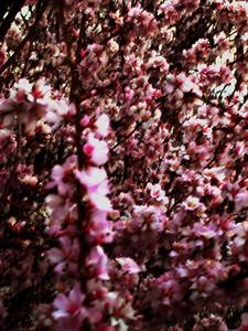 cherry blossom 57