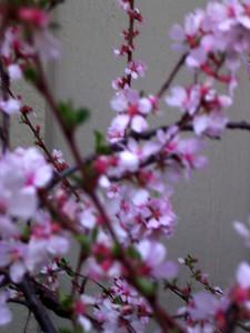cherry blossom 54