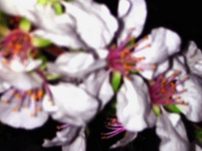 cherry blossom 86