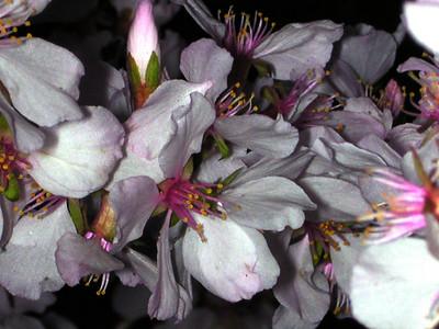 cherry blossom 98