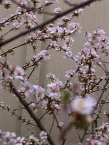 cherry blossom 67