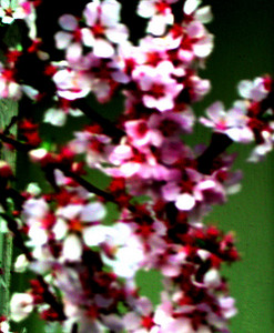 cherry  blossom 48