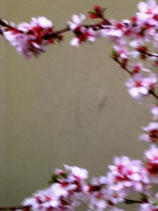 cherry blossom 49