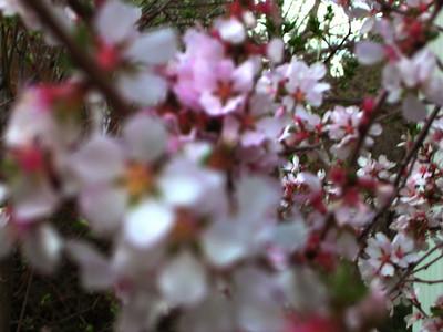 cherry blossom 47