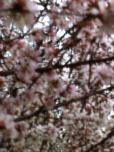 cherry blossom 62