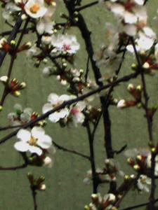 cherry blossom 77