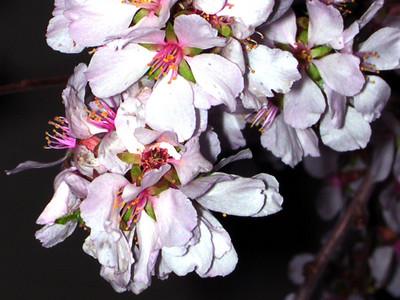 cherry blossom 96