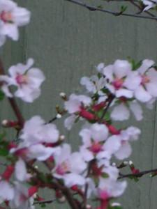 cherry blossom 76