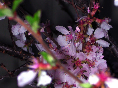 cherry blossom 92