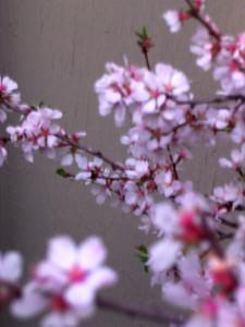 cherry blossom 53