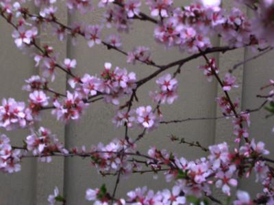 cherry blossom 50