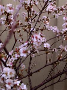 cherry blossom 68