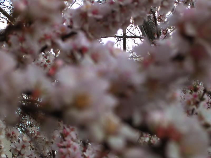 cherry blossom 30