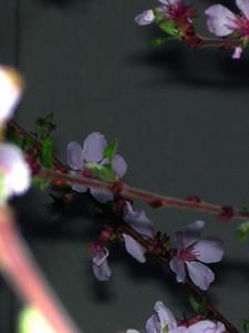 cherry blossom 94