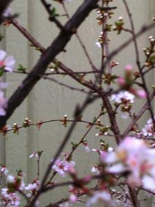 cherry blossom 65